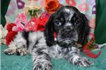 Picture of 'Rosco' Blue Roan Cocker Spaniel Puppy for sale