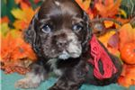 Picture of 'Chester' AKC ChocolateMerle Cocker Spaniel Puppy