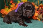 Picture of 'Chloe' AKC SolidChocolate Cocker Spaniel Puppy