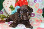Picture of 'Bernie' AKC Chocolate Cocker Spaniel Puppy