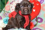 Picture of 'Benji' AKC Solid Chocolate Cocker Spaniel Puppy