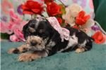 Picture of 'Mercy' BlackTanMerle Cocker Spaniel Puppy