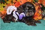 Picture of 'Sophie' AKC ChocolateTan Cocker Spaniel Puppy