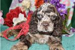 Picture of 'Riley' AKC ChocolateMerle Cocker Spaniel Puppy