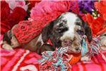 Picture of 'Teddy' ChocolateMerle Cocker Spaniel Puppy