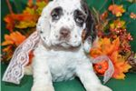 Picture of 'Noelle' AKC ChocolateParti Cocker Spaniel Puppy
