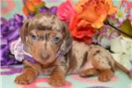 Picture of 'Polly' ChocolateDapple Miniature Dachshund Puppy
