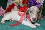 Picture of 'Quinn' AKC ChocolateDappleSH Mini-Dachshund Puppy