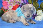 Picture of 'Bugsy' AKC BlueDapple Miniature Dachshund Puppy