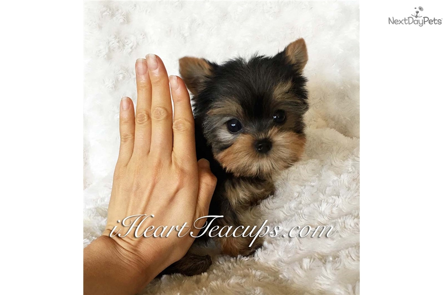Micro Yorkie Yorkshire Terrier Yorkie Puppy For Sale Near