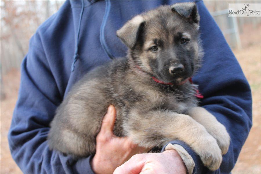 German Shepherd Puppy For Sale Near Lynchburg Virginia 0aa55171 Cf01