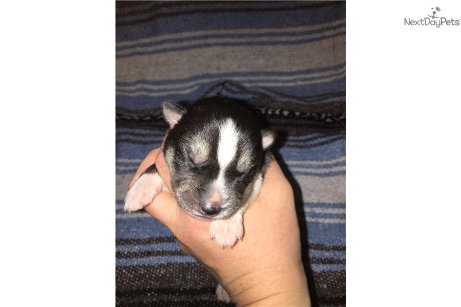 Wednesday Siberian Husky Puppy For Sale Near Northern Wi Wisconsin