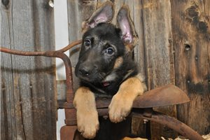 Titan | Puppy at 11 weeks of age for sale