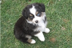Miniature American Shepherd for sale