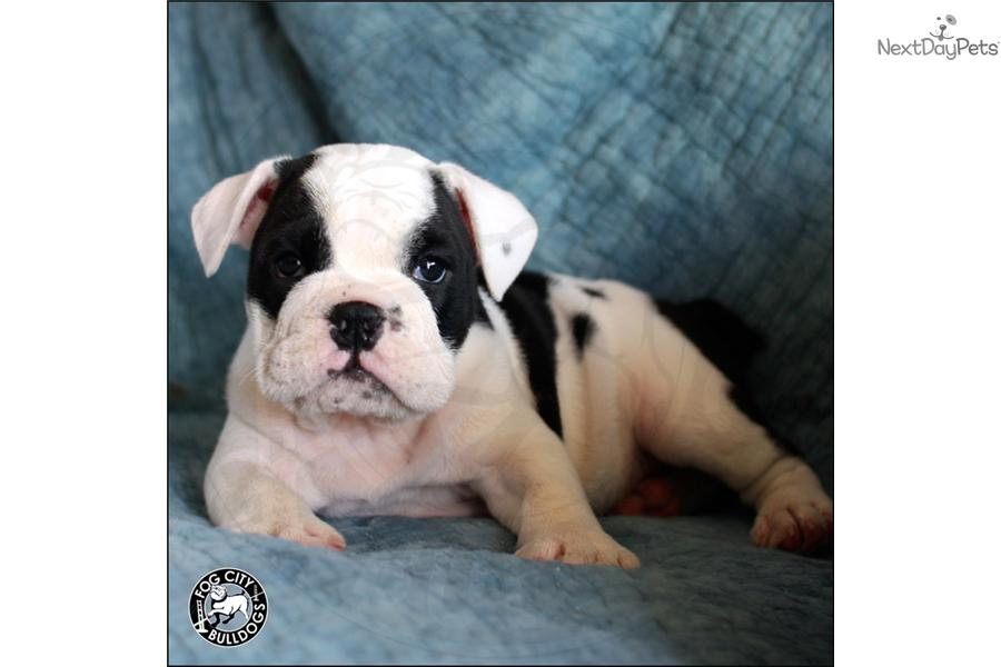 english bulldog puppies for sale in bay area english bulldog for sale for 3 000 near san francisco 2875