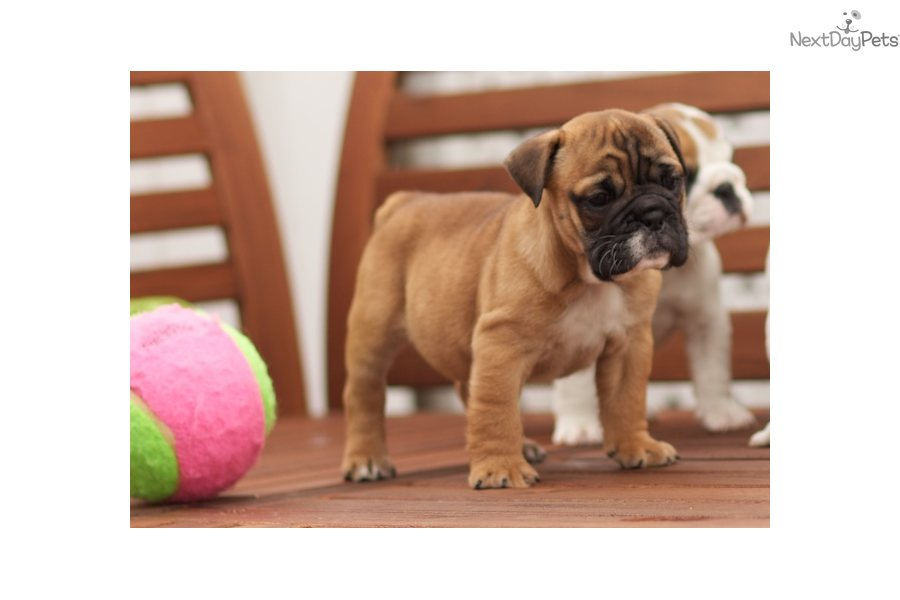 english bulldog puppies for sale in bay area english bulldog puppy for sale near san francisco bay area 7491