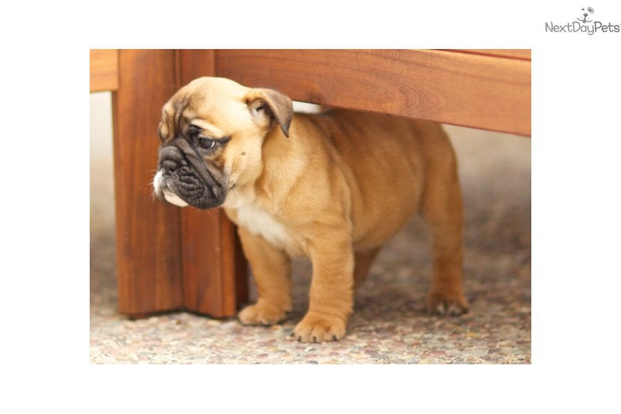 english bulldog puppies for sale in bay area english bulldog puppy for sale near san francisco bay area 6853
