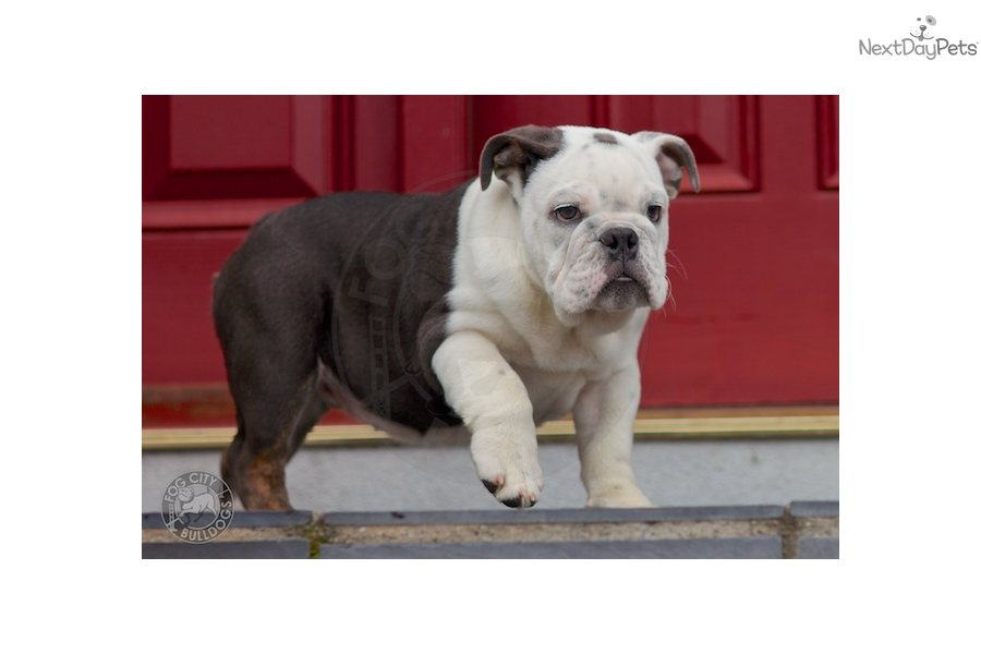 english bulldog puppies for sale in bay area english bulldog puppy for sale near san francisco bay area 3735