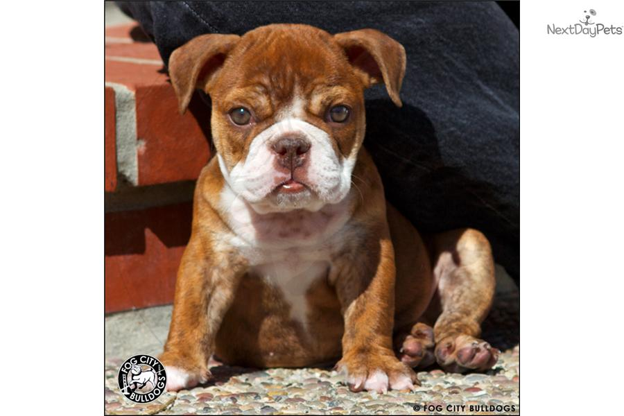 miniature english bulldog puppies for sale near me english bulldog puppy for sale near brunswick georgia 6986