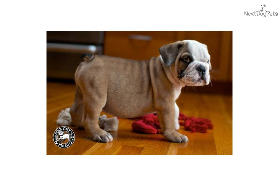 english bulldog puppies for sale in bay area english bulldog puppy for sale near san francisco bay area 7991