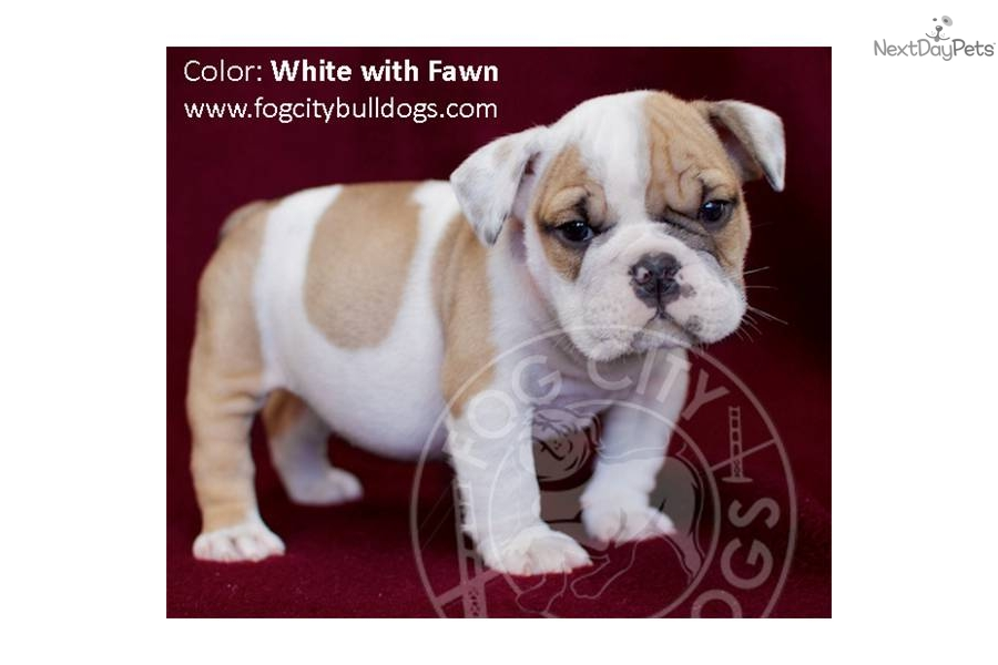 Puppies For Sale From Fog City Bulldogs The Best In The West Member Since December 2010