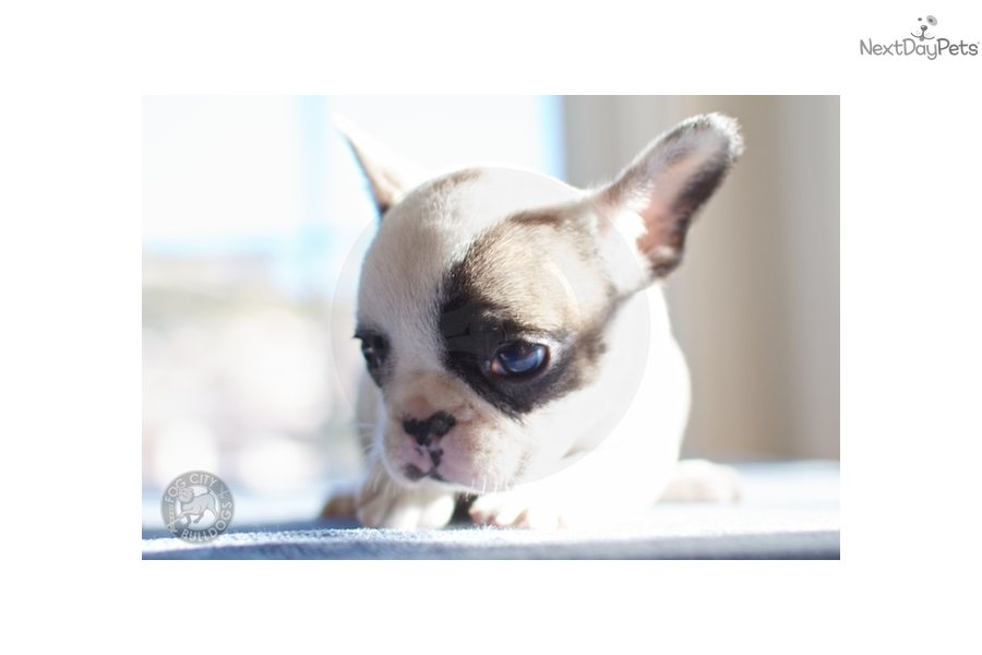 French Bulldog puppy for sale near San Francisco Bay Area ...