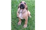 Picture of Small Fila Girl - No Nonsense Guard Dog