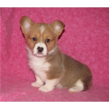 View full profile for Big Cedar Puppies