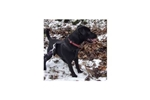 Picture of Female Patterdale Terrier