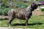 Picture of Health tested brindle and fawn puppies on the way!