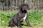 Picture of THICK BLACK MALE-BRED BY AKC BREEDER OF MERIT