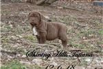 Picture of Show prospects and perfect pets, Tawny & Mahogany