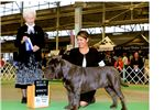 Neapolitan Mastiff for sale