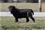 Picture of AKC GCH iL Drago Gryphon X Megga Del Totore