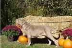 Picture of AKC CHAMPION HEALTH TESTED MALE FOR SALE