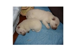 Picture of a West Highland White Terrier - Westie Puppy