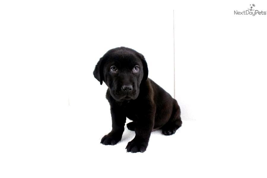 Otterhound puppy for sale near San Diego, California ...