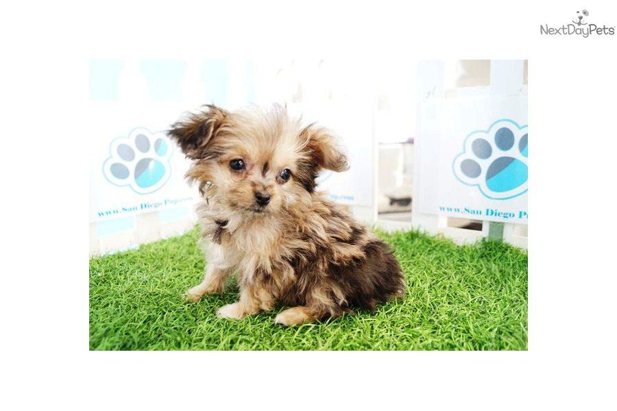 Poma-Poo - Pomapoo puppy for sale near San Diego ...