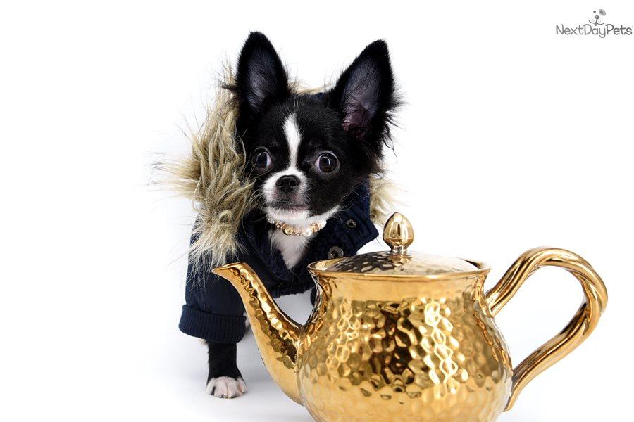 Chihuahua puppy for sale near Orlando, Florida   4521869e-8451