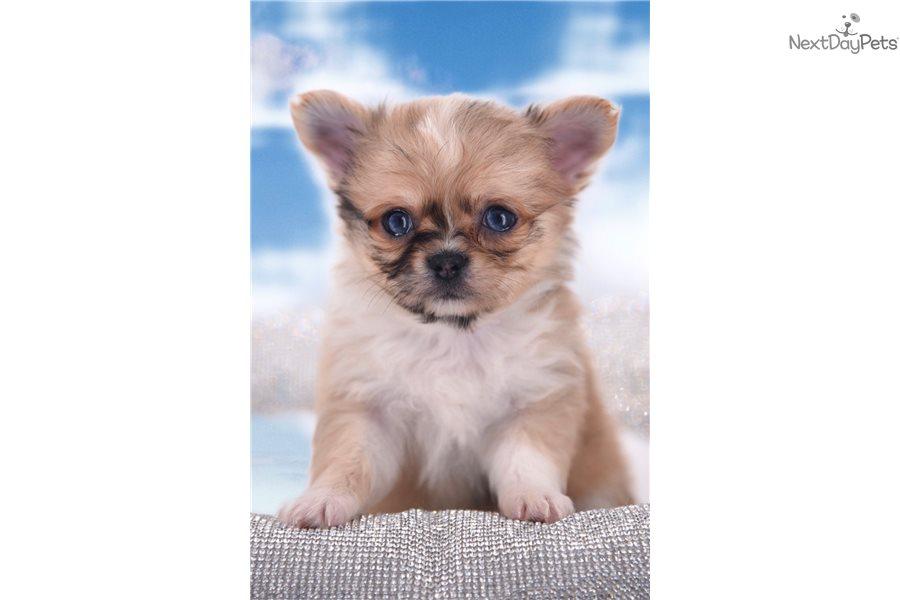 Chihuahua puppy for sale near Orlando, Florida   910717ac-9a11