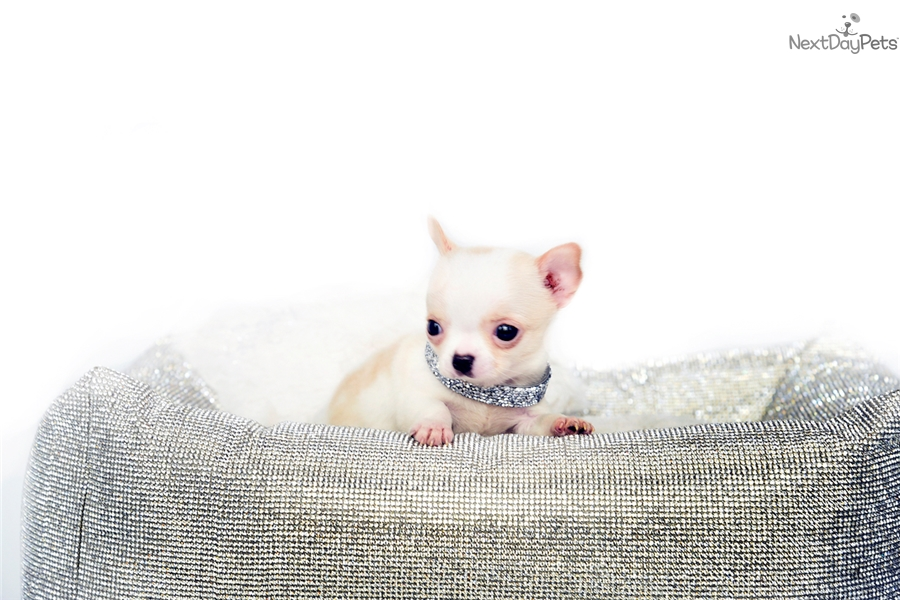 Extreme Micro Doll : Chihuahua puppy for sale near Orlando
