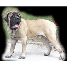 View full profile for Butterfly Ridge Mastiffs