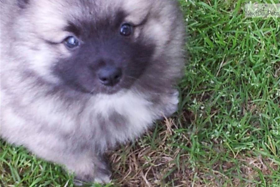 Keeshond Puppy For Sale Near Athens Georgia 62b9804f 07a1