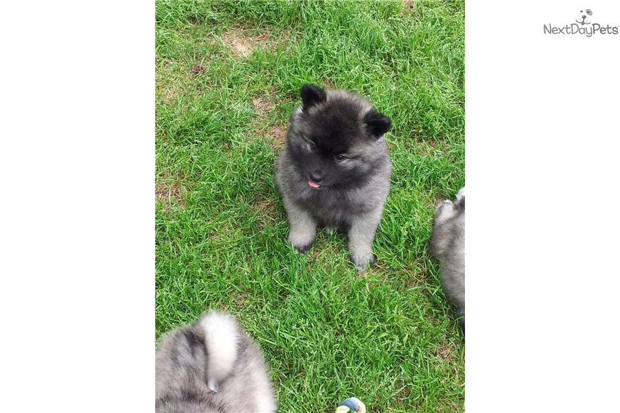 Keeshond Puppy For Sale Near Athens Georgia B7a0227c 8d41