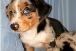 Picture of Blue Merle Cardigan Welsh Corgi/Augie Male puppy