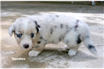 Picture of Blue Merle Cardigan Welsh Corgi/Augie Fema puppy