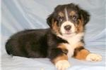 Picture of Black Tri Cardigan Welsh Corgi/Augie Male puppy