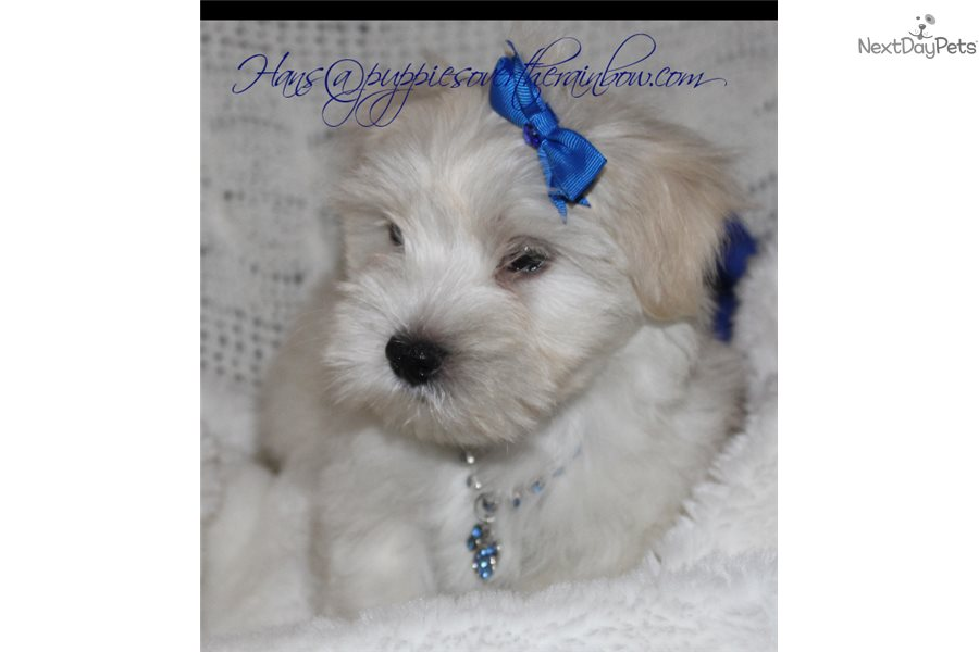 Hans: Morkie / Yorktese puppy for sale near Sioux Falls South Dakota USA