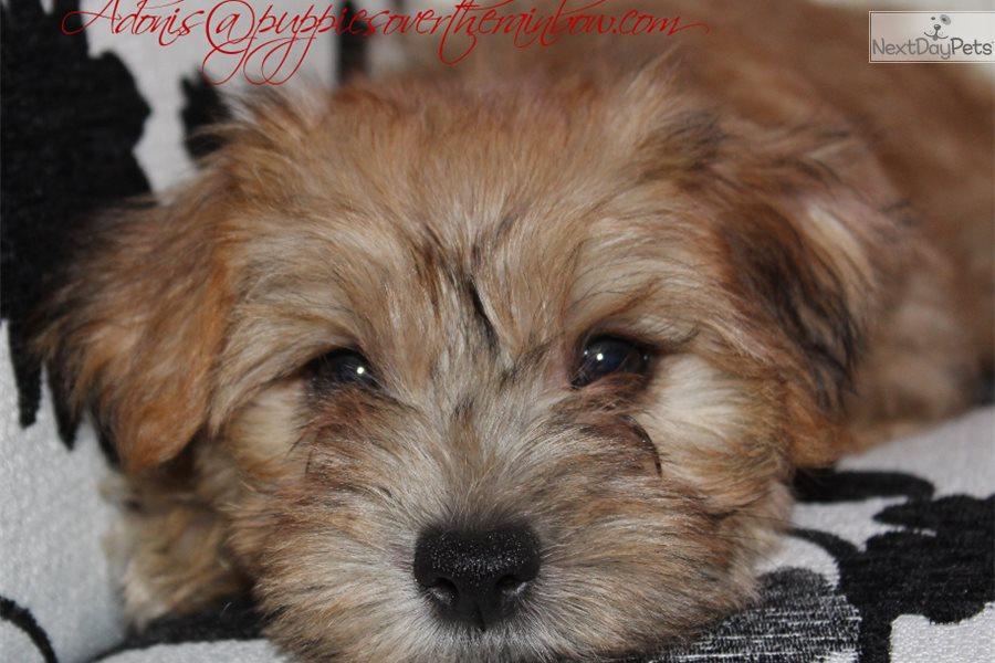 Cutie Pie: Morkie / Yorktese puppy for sale near North Dakota USA