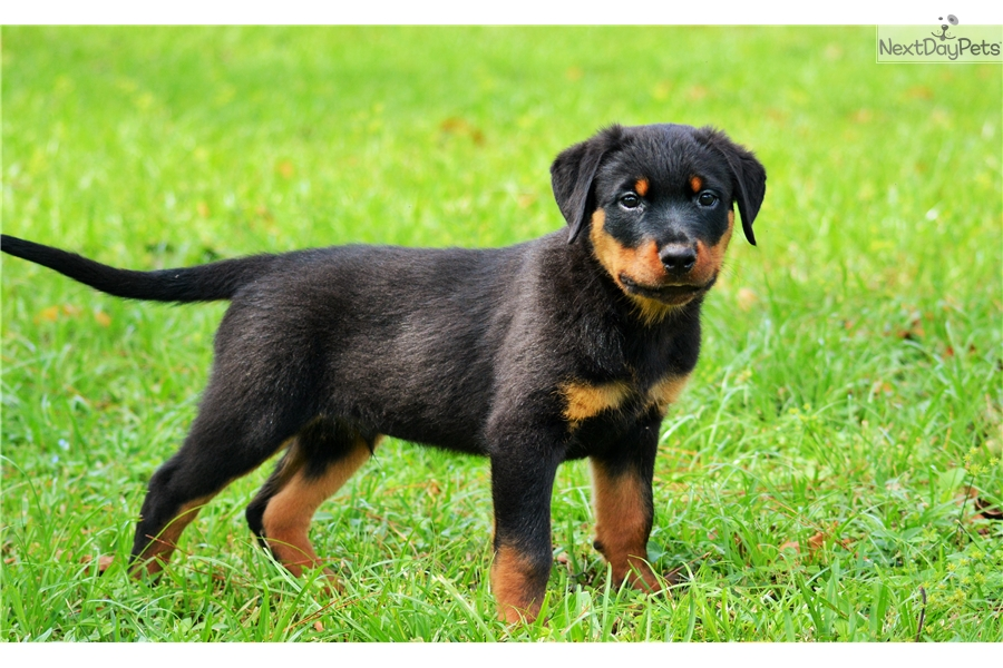 Lennox Rottweiler Puppy For Sale Near South Florida Florida